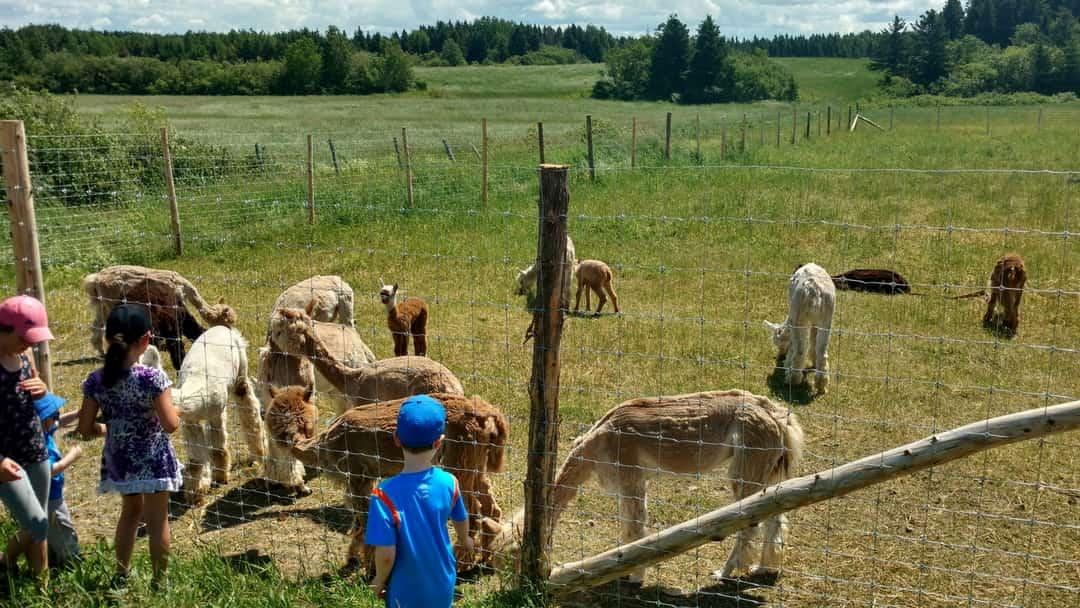 Des enfants font la rencontre des alpagas lors d'une visite à la ferme