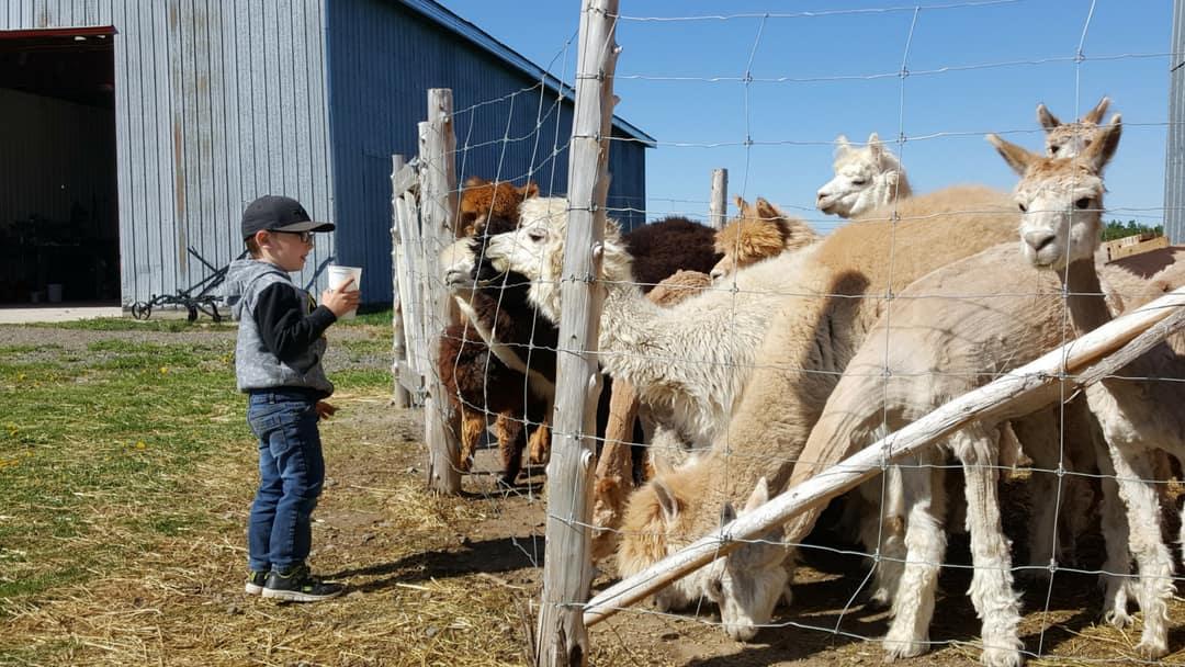 Un enfant nourrit les alpagas dans le cadre d'une visite à la ferme