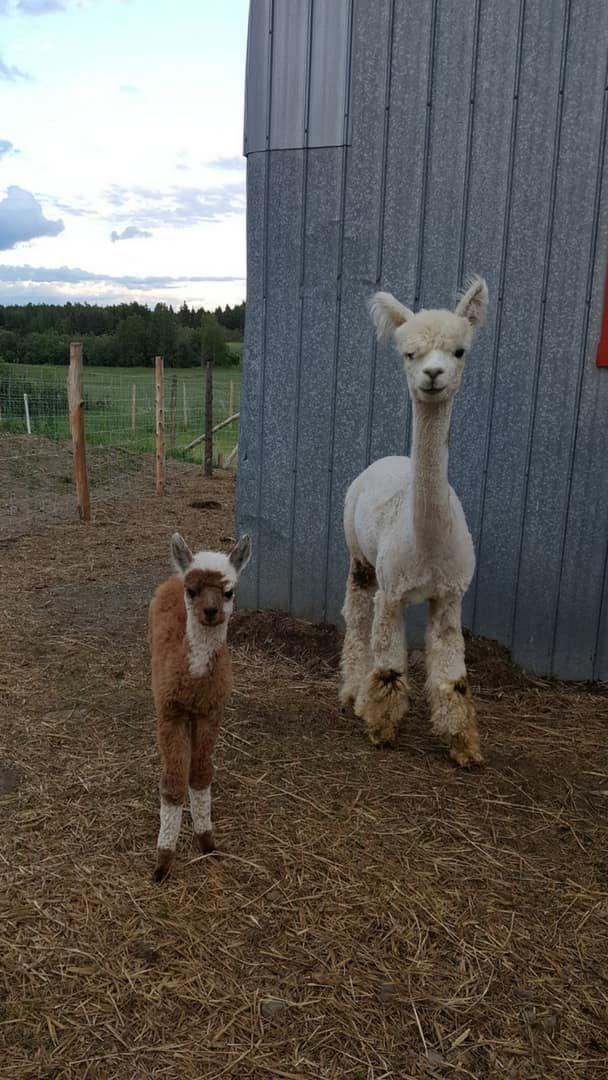 mère alpaga et son petit